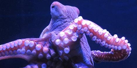 smInky Octopus