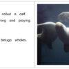 Beluga Whales At The Aquarium pages 12-13